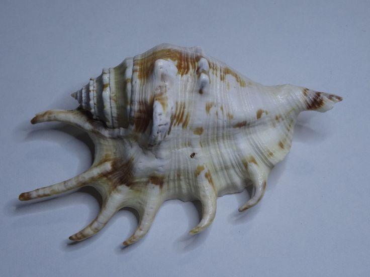 White-Brown Murex seashell