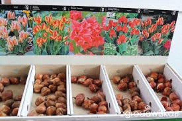 Wrzesień to idealny moment, by zasadzić rośliny cebulowe.Rośliny cebulowe…