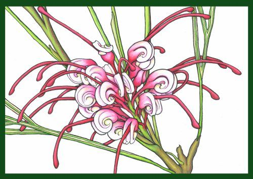 Karen Bailey Grevillea 4 Coloured Pencil over acrylic paint. Click back to post to find out more about the drawing. Contact the artist through the blog for information on sales and commissions.