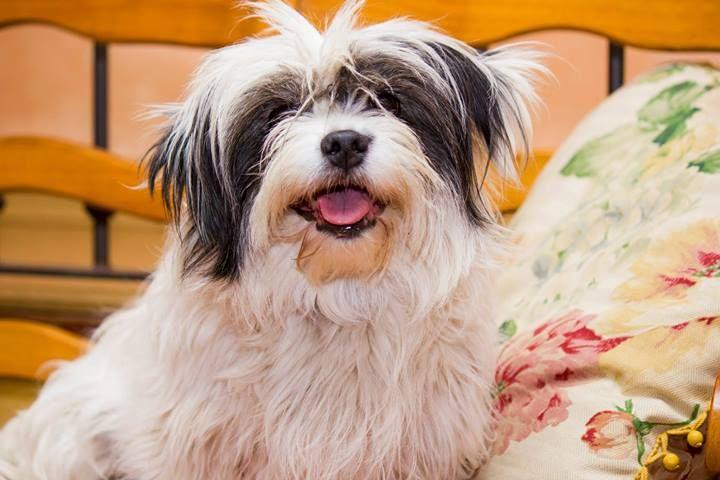 Gordi es una perrita de 7 años de tamaño pequeño, pesa unos 6 kg.  Convive perfectamente con perros y gatos.  Se entrega desparasitada interna y externamente, vacunada con pentavalente y rabia, identificada con microchip, con analíticas de leishmania y erlichia, con contrato de adopción y seguimiento y solo en Madrid y alrededores.  Si quieres adoptar a Gordi escríbenos a info@protectoravillapepa.com