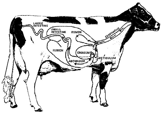Cow Anatomy Diagram: Cow Digestive Tract