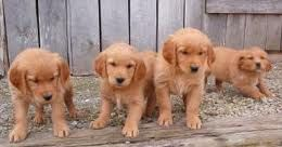 Red Golden Retriever Puppies<3... Reminds me of my Molly when it was love at first sight!!!