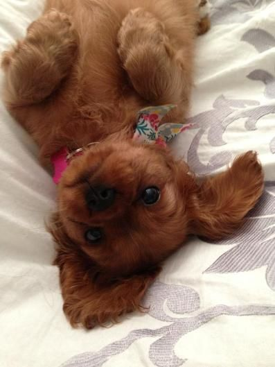 AKC Cavalier King Charles Spaniel Puppies for Sale Cutest puppies ever!