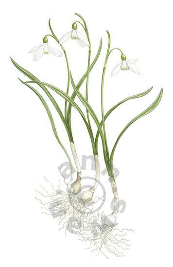Ann Swan - Snowdrops - Galanthus