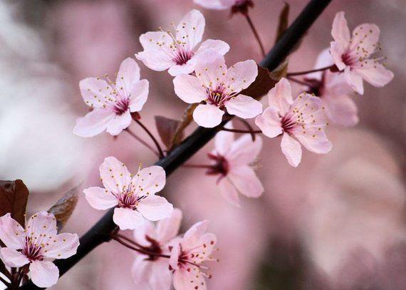 Sale Joyful 5x7 Flower Photograph Pink Cherry Blossoms Home Decor Photography Flowers Photography Flowers Photography Wallpaper Cherry Blossom Flowers