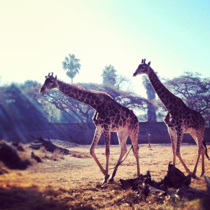 giraffes at The Pretoria Zoo