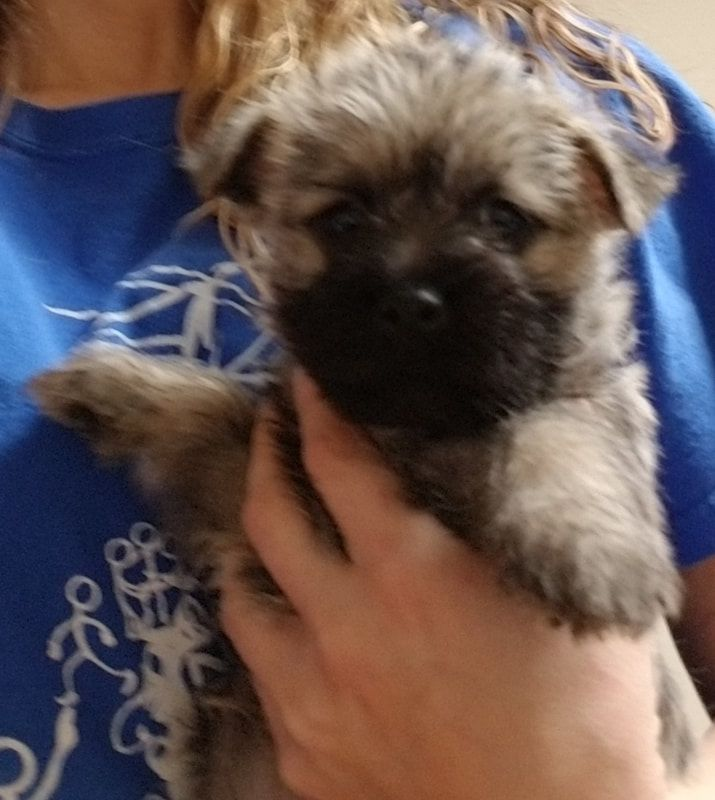 Kristy S Country Aire Cairn Terriers Home Cairn Terrier