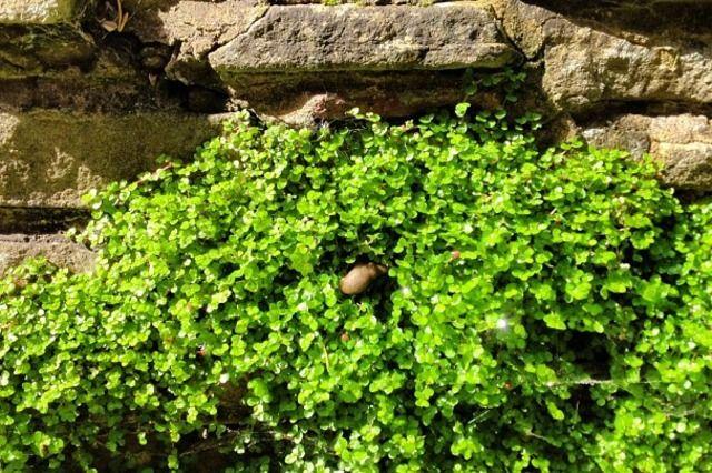 Helxine une plante couvre sol d 39 entretien et de culture for Entretien plantes jardin