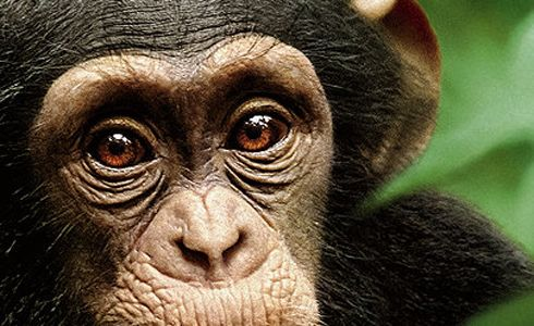 life story discovery chimps images | in the movie chimpanzee a curious cute chimpanzee begins finding