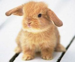 Cuidados básicos del conejo bélier. https://theyellowpet.blog/cuidados-basicos-conejo/