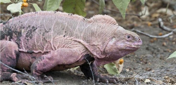 L'iguane rose menacé par le volcan Wolf. Biosphoto / Minden Pictures / Tui De…