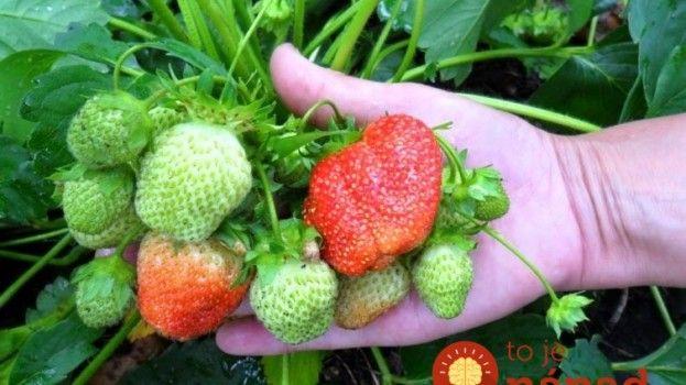 Pěstitel prozradil jednoduchý trik, jak ochránit jahody před škůdci a chorobami!