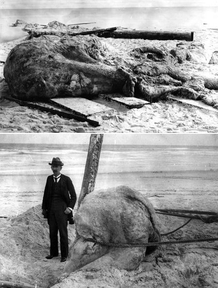 """In November of 1896, two young boys became famous after they found the """"St. Augustine Monster"""" on Anastasia Island in Florida. Originally postulated to be the remains of a gigantic octopus, it is one of the earliest recorded examples of a """"globster,"""" an unidentified organic mass. Recent analysis concludes that the St. Augustine Monster was a large mass of a collagenous matrix of whale blubber, likely from a sperm whale. (Li"""