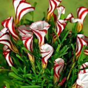 Oxalis Versicolor: Beautiful Flower, Christmas Flower, Canes Sorrel, Oxali Versicolor, Plants, Gardens, Candy Canes, Bulbs, Full Bloom
