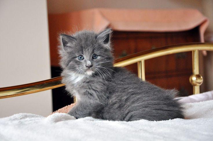 Elevage des Fines Terres, chats norvégiens, chats des forêts norvégiennes, chat norvégien, chat des bois de Norvège, chatons norvégiens