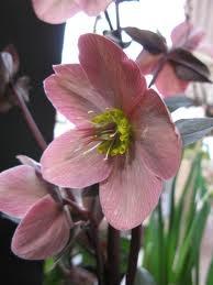 Hoito:Orgaanisen aineksen lisäys on suositeltavaa loppukesällä.Paras tulos saavutetaan käyttämällä esim.maatunutta lehmänlantaa ja kalkkia,seuraavan kevään kukinta on taattu.Lisää orgaanista ainettu uudestaan keväällä kukinnan jälkeen.  Mitä tehdä,kun uudet lehdet ilmestyvät keväällä?Jos sinulla on H.niger tai H.orientalis lajike,leikkaa kaikki vanhat lehdet pois.Muiden lajikkeiden osalta,leikkaa pois vain vahingoittuneet lehdet.Leikkaa myös vanhat kukat,koska ne voivat houkutella kirvoja.