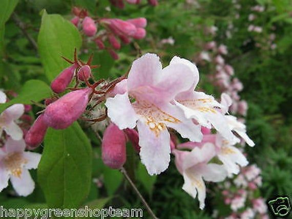 Beauty Bush 30 Seeds Kolkwitzia Amabilis Bonsai Or Shrub Linnaea Amabilis Beauty Bush List Of Flowers Bonsai Seeds