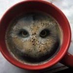 Kaffeugle