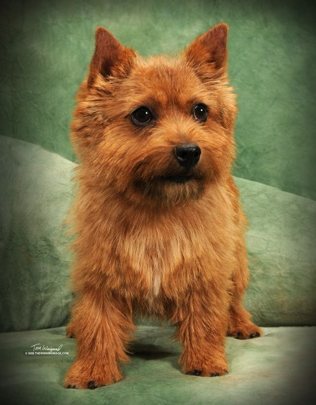 norwich terrier puppies for sale | Puppies for sale - Norwich Terriers - in Dayton, Texas