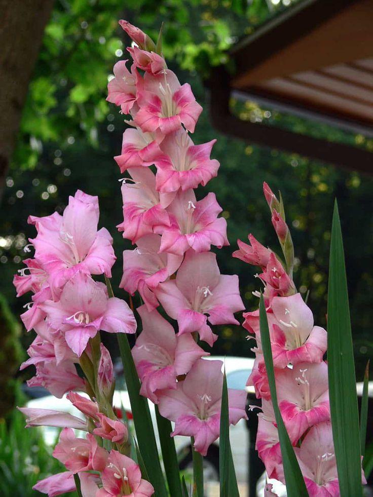 Growing Gladiolus In The Garden Glaieul, Fleurs et