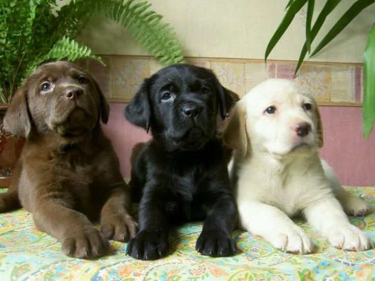 All Three Colors Lab Pups <3