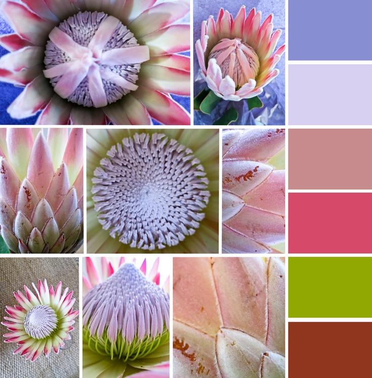 King Protea Colour Range - South Africa  © Carmen Hidalgo
