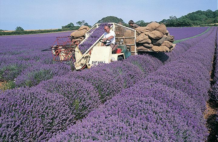Campos de lavanda em Norfolk Lavender, costa leste, Inglaterra.
