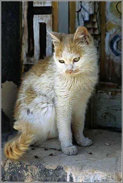 75 best Les chats du tibet images on Pinterest | Kitty cats, Tibet ...