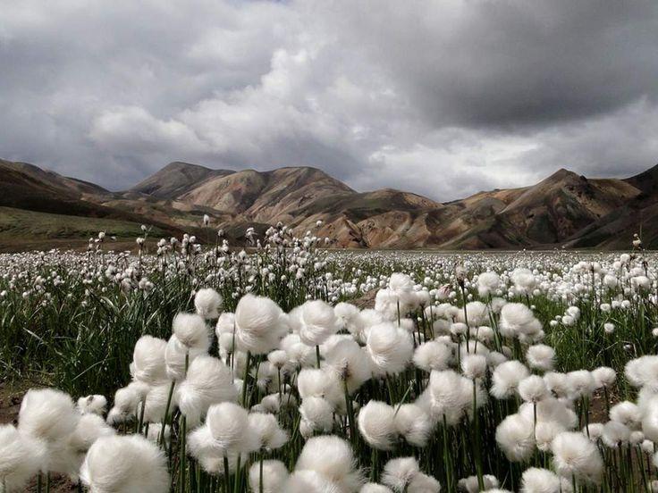 Cotton flower fields / Landmannalaugar, Iceland