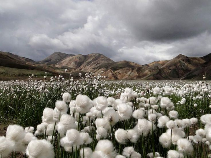 Cotton Grass, Iceland - 15 Amazing Photos of Places Around the World