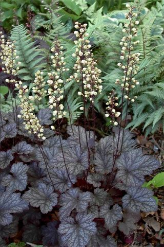 HEUCHERA 'MOONLIGHT'. Love  it with ferns behind it.