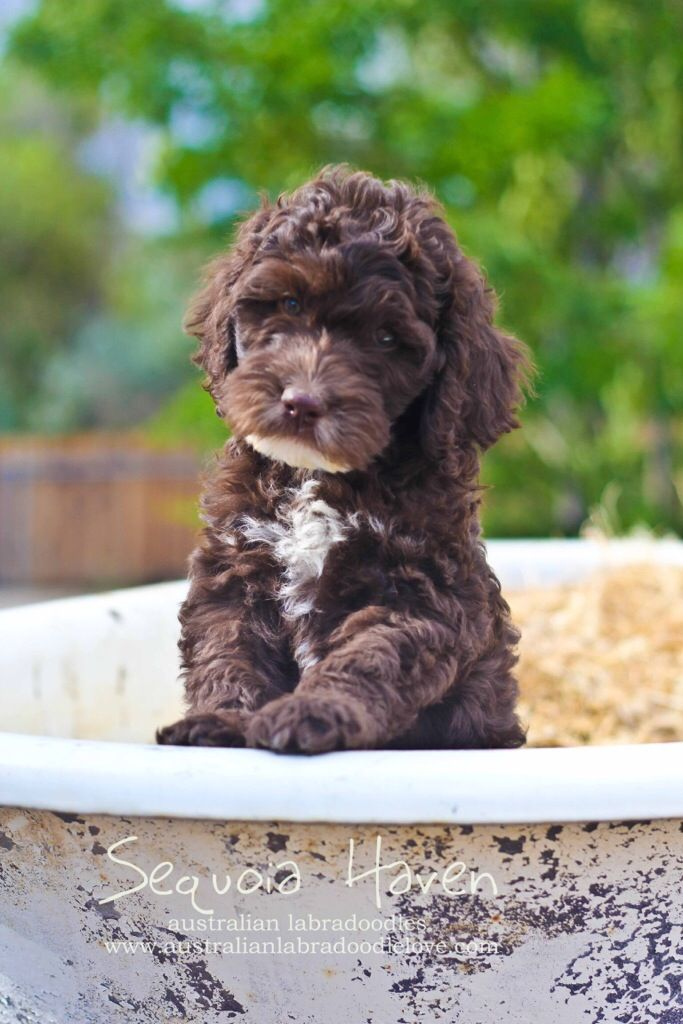 Chocolate Australian Labradoodle Puppy Reserve for Christmas NOW