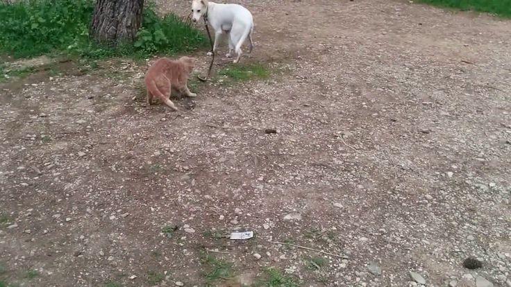 Πώς έχασα τον σκύλο μου (σχεδόν). Άγρια αδέσποτη γάτα επιτίθεται στον σκ...