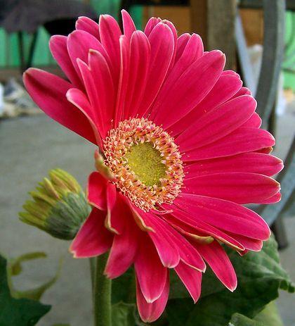 Mi flor favorita, asi que aqui hay info e imagenes, espero q los amantes de las flores lo disfruten. La gerbera es originaria de Transvaal (África del Sur); también se conoce como margarita del Transvaal. La gerbera lleva el nombre de Trangott...