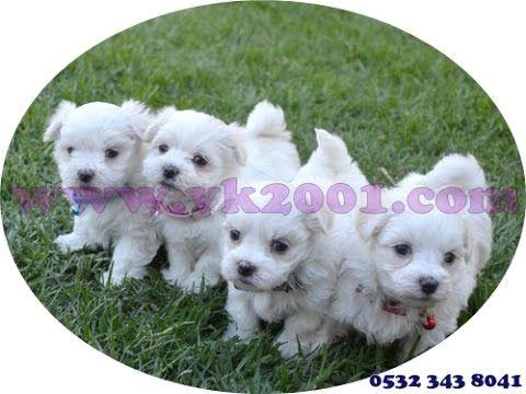 http://www.vk2001.com/maltese-teacup-terrier/maltese-tea-cup-terrier-yavrulari.htm  0532 343 8041  Maltese Teacup Terrier Yavruları    MALTESE TERRİER ÖZELLİKLERİ  Maltese terrier özellikleri ve bakımı;    Malta Terrieri sırtın yere kadar uzanan ipeksi düz beyaz kürkü ile küçük; ama sağlam yapılı bir köpektir. Alt kürkü yoktur ve tüyleri dalgalı veya kıvırcık değildir. Parlak ve ipeksi kürkü 22 cm'e kadar uzayabilir. Renk beyazdır; ancak açık fildişi rengi de kabul edilebilir. Uzun düşük…