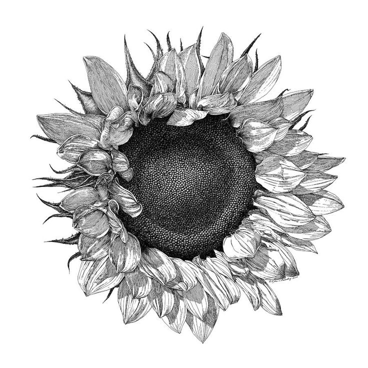 Drawings Of Sunflowers In Pencil black and white botani...