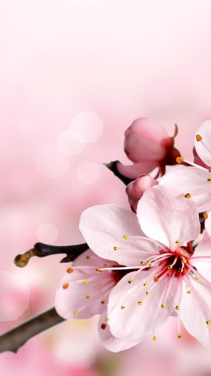 Cherryblossom Spring Wallpaper Cherry Blossom Wallpaper Flower