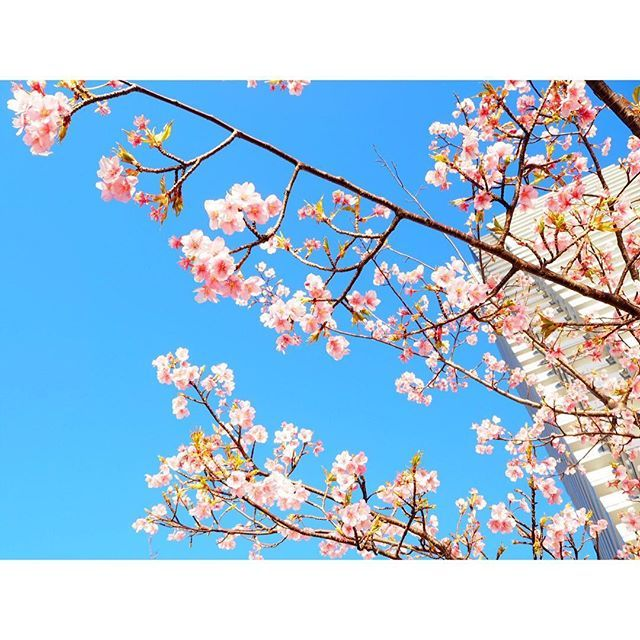 【panepon117】さんのInstagramをピンしています。 《早咲きの桜が綺麗だ〜 これからもっと楽しみ🌸🌸🌸 だんだん春ですね〜  #早咲き #桜 #sakura #cherryblossom #奇跡的に続いてる #朝ウォーキング ☀️ #春はすぐそこ #いろんな種類の鳥を発見》