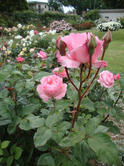 Rosa 'Queen Elizabeth' http://lefotodiluisella.blogspot.it/