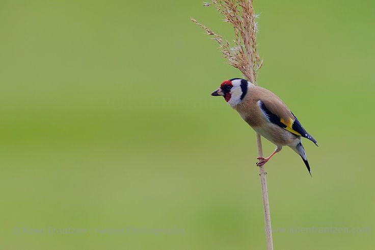 European Goldfinch (Carduelis carduelis)  koenfrantzen.com