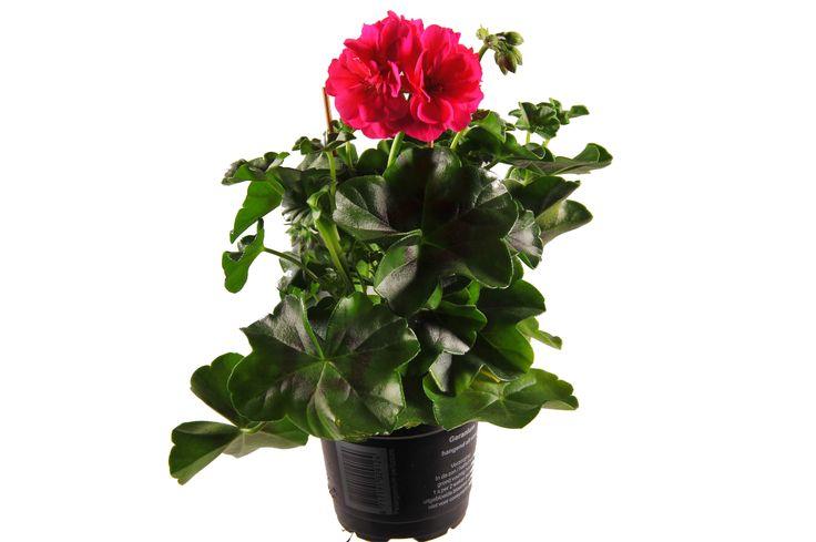 Pelargonium Peltatum Marimba