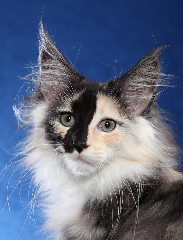 Whatatrill Baked Alaska (Maine Coon) ~~ Incredible markings!