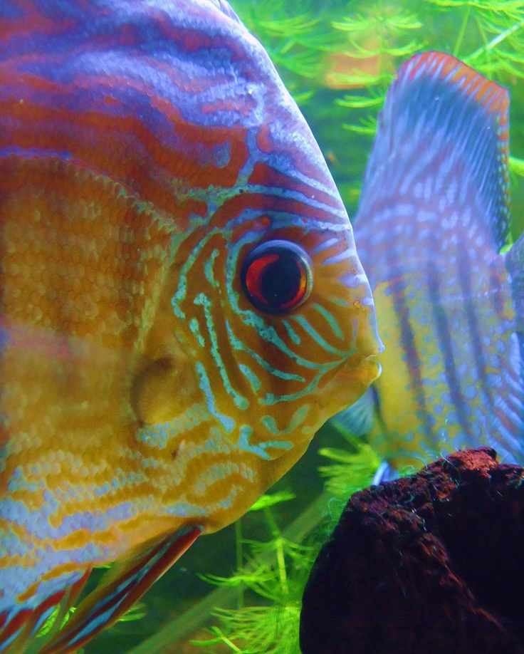 1000 images about discus on pinterest cichlids fish for Live discus fish for sale