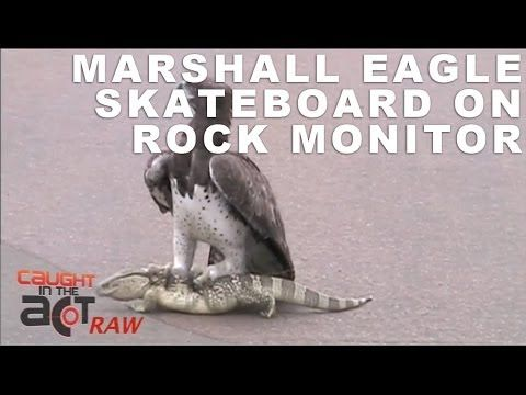 Marshall Eagle skateboards on Rock Monitor [Caught in the Act RAW]