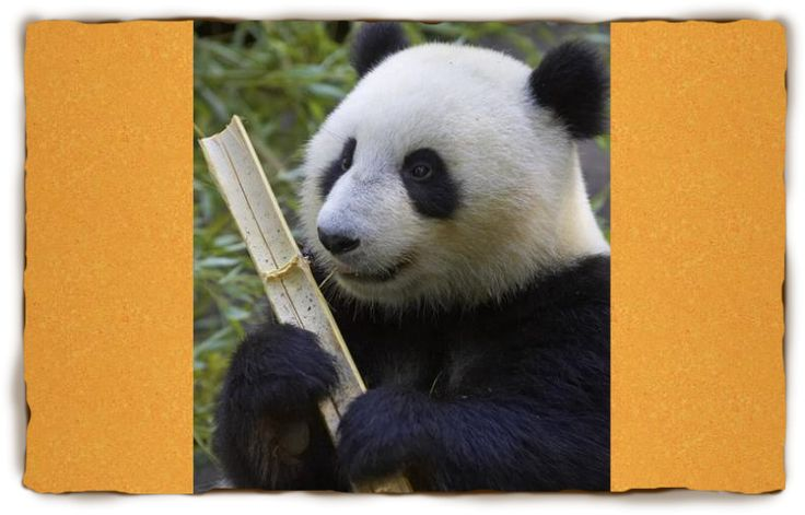 Panda Facts For Kids from San Diego Zoo