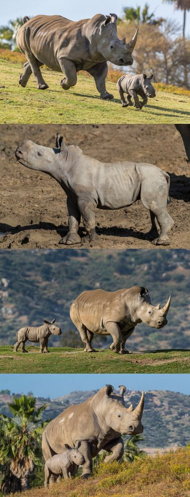 We have good news!! After 16 years, Kiazi finally gave birth! Her little ray of hope is more proof that our scientists may have solved a riddle of southern white rhino reproduction.