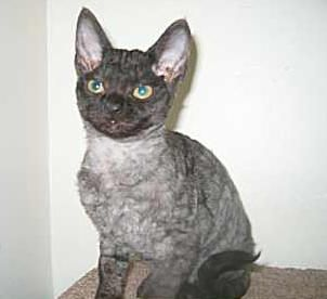 Hypoallergenic Cat Breeds | Hypoallergenic Cat Breeds. Low or non allergy cats