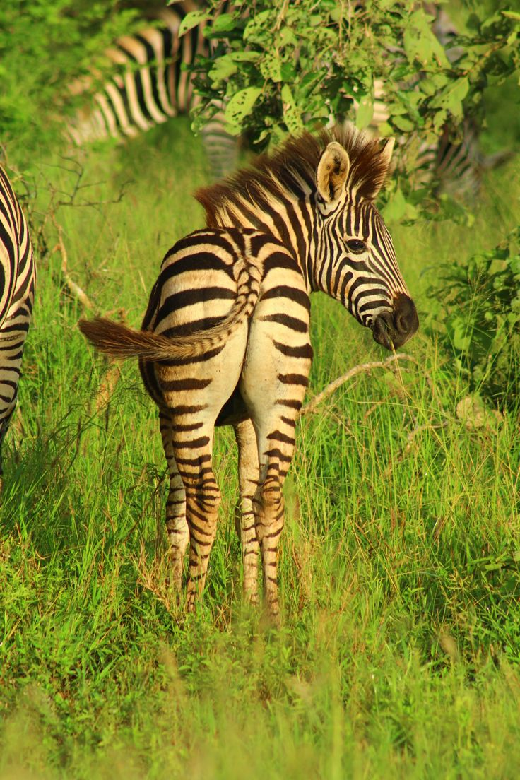 Kruger National Park South Africa, if you wish to visit us, contact me at krugerdrives@gmail.com.  Zebra