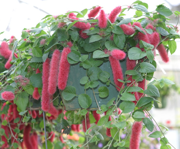 Chenille Plants