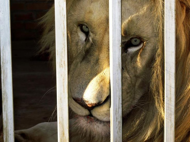 POLL: Should 'canned' lion hunting be banned? – Focusing on Wildlife